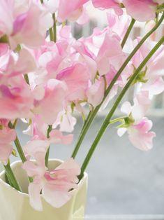 FLOWER SWEETPEA MACRO PHOTOGRAPHY
