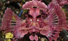 O que você tá olhando? Esse peixe escorpião (Rhinopias eschmeyeri) foi capturado por Rockford Draper, em Bali, na Indonésia.