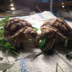 African Spurred Tortoises named Clark Kent and Bruce Wayne