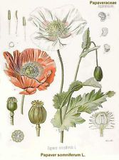 10 Samen Alraune Mandragora Mandragora autumnalis witchcraft seeds hexengarten