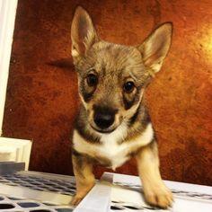 västgötaspets, Swedish Vallhund Elliott! viking dog, wolf corgi, puppy