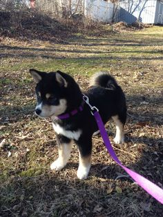 Baby Shiba Cute Dogs And Puppies, Baby Dogs, Pet Dogs, Pets, Doggies, Cute Little Animals, Cute Funny Animals, Chien Shiba Inu, Shiba Puppy