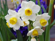 Easy to overlook but some narcissus have sweet scent Spring Flowering Bulbs, Spring Bulbs, Daffodils, Shrubs, Garden, Plants, Color, Sweet, Easy