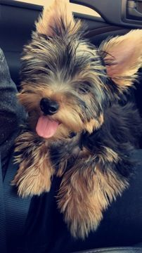 Yorkshire Terrier puppy for sale in TUSTIN, CA. ADN-31173 on PuppyFinder.com Gender: Male. Age: 5 Months Old