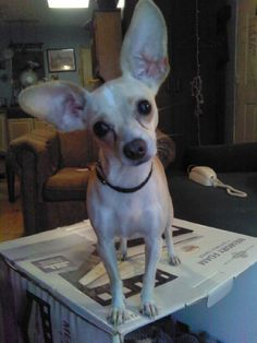 """If you've never quite known what makes a Chiweenie a """"Chiweenie"""" . . . I think this guy's a pretty good example.  Check out those ears!"""