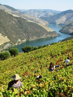Grape harvest, done by hand, in the Douro wine region of northern Portugal. Douro Portugal, Visit Portugal, Spain And Portugal, Portugal Travel, Oh The Places You'll Go, Places To Visit, Douro Valley, Port Wine, Paradis