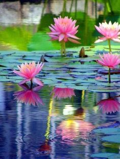Water Lilies by the Dock - Relaxing Places - Pond Water Lily - Water Garden Lily Calla, Lily Pond, Water Plants, Water Flowers, Pond Plants, Lilies Flowers, Aquatic Plants, Paint Flowers, Tropical Flowers