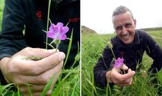 Look but don't touch! Pretty flower so poisonous that it could KILL returns to the UK. A flower, a pretty pink Corncockle, is a very poisonous plant, once thought extinct in the UK, has been found in the grounds of Souter Lighthouse in Whitburn, Sunderland.