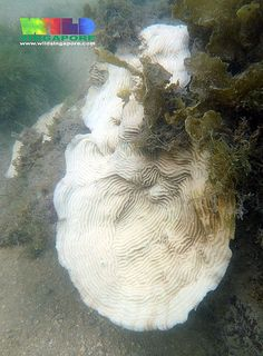 ˚Ringed Plate Coral (Pachyseris speciosa) bleaching 2013