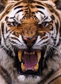 Tiger roaring close up