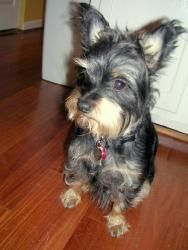 Thomson is an adoptable Yorkshire Terrier Yorkie Dog in Atlanta, GA. Please contact Paula ( paula@londe.us ) for more information about this pet. If your looking for a loyal dog with funny mannerisms ...