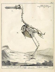 Antique Bird Print - Bird Skeleton Unique Wall Art — MUSEUM OUTLETS