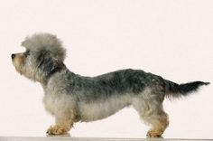 this adorable little guy is another one of the Scottish breeds. Terrier Breeds, Terriers, Doggies, Dogs And Puppies, Dandie Dinmont Terrier, Animal Crackers, Small Dog Breeds, Cairns, Westies
