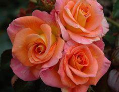 Day Breaker (Palatine Roses)