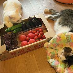 毎年恒例が来た♩来た〜♩ 地元のぶどう農家が作る、フルーツトマト❤︎ #八おこめ #ねこ部 #cat #ねこ #八おこめ食べ物 #夏野菜