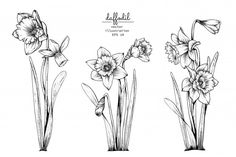 Daffodil narcissus flower drawings. Premium Vector