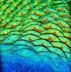 peacock feathers, detail