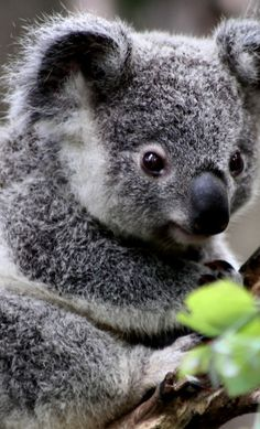 Australian Koala!  So Cute!  Go to www.YourTravelVideos.com or just click on photo for home videos and much more on sites like this.