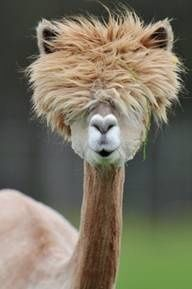 Is this an alpaca recently shaved?!?!