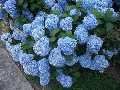 Blue Hydrangea Where: Figure 8 Perenial Garden~ Mostly Sun Info:big leaf shrub, large globes of flowers.color depends on the pH of the soil. blooms in June last for about 2months.flowers reach 9 in. in diameter easy to care for & grows quick reach its full height few years.partial shade, Hardiness: Zone 5b Height: 5ft Width: 5ft Shape: clumps Growth: fast Light Requirement: partial sun Spring/summer Flowers: blue (pink if in neutral soil)showy mop head flowerBloom: all summer