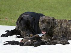 "DIXIE THE AMERICAN PIT BULL  Litter Count: 20   The 16-month-old pit bull's litter of 20, born in May 2009, had 10 females and 10 males. ""We were just [like], 'Wow,'"" owner Michael Stewart told PEOPLE of the super-sized delivery."