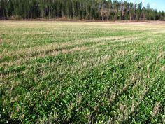 Kevätvehnän aluskasviksi kylvetyn italian raiheinän ja valkoapilan seoskasvusto lokakuussa 2012 (Mustio). Kuva: Anna Liljeström.