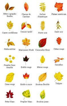 PLANTS CH Beautiful fall leaf identification charts for Nature Study. Horticulture, Horse Flowers, Flowers Nature, Fall Coloring Pages, Coloring Sheets, Slippery Elm, Plant Identification, Nature Study, Tree Leaves