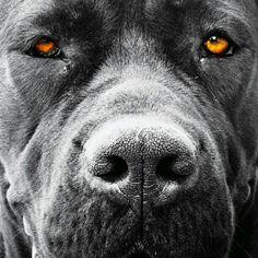#canecorso