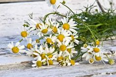 The Best Natural Sleep Aid: How to Use Herbs for Sleep - Garden Therapy Chamomile Essential Oil, Essential Oil Scents, Best Essential Oils, Homeopathic Remedies, Health Remedies, Natural Remedies, Chamomile Growing, Chamomile Tea, Herbs For Sleep