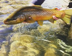 """15 Likes, 2 Comments - Kendall Witt (@kendallwitt25) on Instagram: """"Yes. #flyfishing #flytying #templeforkoutfitters #patagoniaflyfishing #browntrout #Colorado"""""""
