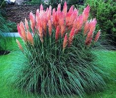 Cortaderia selloana 'Pink Pampas Grass' Plants Easily one of our top sellers every year due to the p Planting Flowers, Plants, Backyard Landscaping, Ornamental Grasses, Lawn And Garden, Growing Grass, Pink Pampas Grass, Cortaderia Selloana, Outdoor Gardens