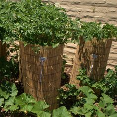 If you have limited space in your yard for growing food and want to get the most out of every square foot, building a potato tower is a simple, effective way to save space and increase your harvest.