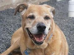 ADOPTED!!! STILL THERE!!!  Helping Connecticut Canines Diesel has recieved a lot of interest on Facebook but sadly the shelter has not yet received one application to adopt. He is still available and looking for a great retirement home! Please call the shelter directly at 203-294-2180. Wallingford, CT. https://www.facebook.com/photo.php?fbid=622060597871429&set=a.133087210102106.33718.132912580119569&type=1&comment_id=2024918&offset=0&total_comments=247