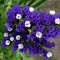 Statice (Limonium Sinuatum Purple Attraction) - Commonly known as Statice, this annual features dense sprays of small, papery blooms on stiff stems. The plants establish easily from Statice seeds, and