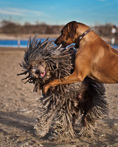 View top-quality stock photos of Bergamasco Vs Rhodesian Ridgeback. Cat Vs Dog, Most Beautiful Dogs, Lion Dog, Cats For Sale, Modern Pictures, Rhodesian Ridgeback, Family Dogs, Dog Art, Dogs And Puppies