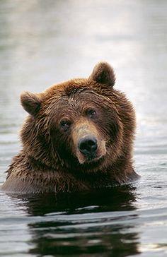 Swimming brown bear - Brooks River, Katmai National Park, Alaska // #SicEm
