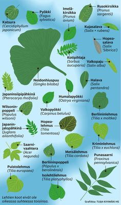 Kuvittele minkä tahansa mallinen lehti. Et taatusti pysty keksimään muotoa, jota jokin kasvi maailmassa ei olisi ominut! Tällä aukeamalla esitellään Helsingin puistojen, kadunvarsien ja metsien lehtipuita. Näinkin suppeassa valikoimassa lehdet vaihtelevat valtavasti. Rainforest Facts, Rainforest Animals, Nature Animals, Salix Alba, Finnish Language, Butterfly Coloring Page, Solar System Planets, Human Body Systems, Maila