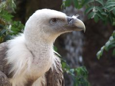 Colchester Zoo Vulture :O