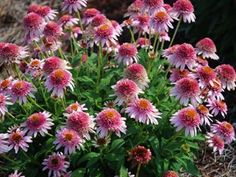 """Echinacea Butterfly Kisses  FRAGRANT pink pompom flowers  Compact and sturdy  Blooms nonstop form summer-Fall  View all 21 fragrant & colorful Coneflowers  Deer Proof Sun Perennial  Zone 4,5,6,7,8,9 Blooms Early Summer-Early Fall  12-15"""" X 15-18"""""""