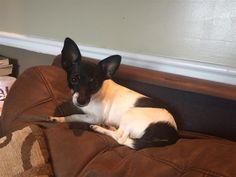 Lost Dog - Jack Russell Terrier - Alpharetta, GA, United States 30005