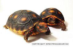 Cherry Head - Redfoot Tortoise