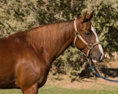 3 Year Old Sorrel Cutting Gelding for Sale - For more information click on the image or see ad # 39636 on www.RanchWorldAds.com