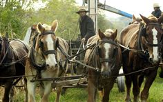 An Amish farmer leads his horses after harvesting corn on Oct 23, 2003 in Wakefield, Pa.
