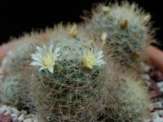 Mammillaria crinita – Pincushion Cactus  See its profile and more photos here ◢ http://www.worldofsucculents.com/mammillaria-crinita-pincushion-cactus/