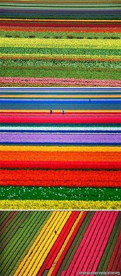 "Tulip plantation in Holland.   (""Plantaciones de tulipanes, Holanda."")"