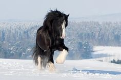 Shire Horse stallion Tom impresses with pure power and joy of life in wonderful winter landscape Horses In Snow, Work Horses, Black Horses, Cute Horses, Pretty Horses, Cute Horse Pictures, Beautiful Horse Pictures, Most Beautiful Horses, Animals And Pets