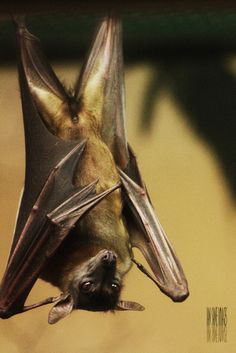 Here is another picture from my tour of the Oregon Zoo last November. This is a Straw-Colored Fruit Bat (Eidolon Helvum). Fruit Bat, Old Makeup, Dreams And Visions, Hanging Out, Mammals, Creatures, Darth Vader, Bats, Nature