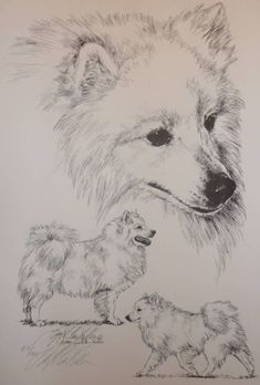 American Eskimo Dog (German Spitz) by Lyn St.Clair