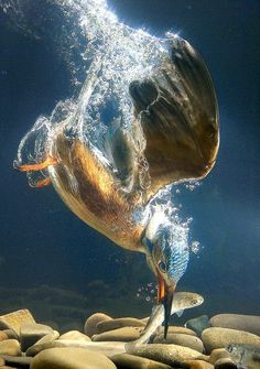Diving kingfisher/ Great action shot action