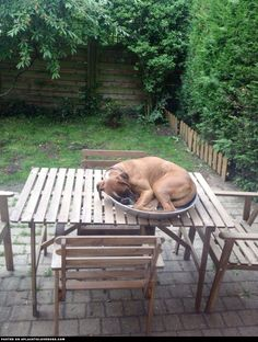 Boxer Napping In A Bowl - to accomplish this scene I need to buy a house and a dog ... Wish list noted.